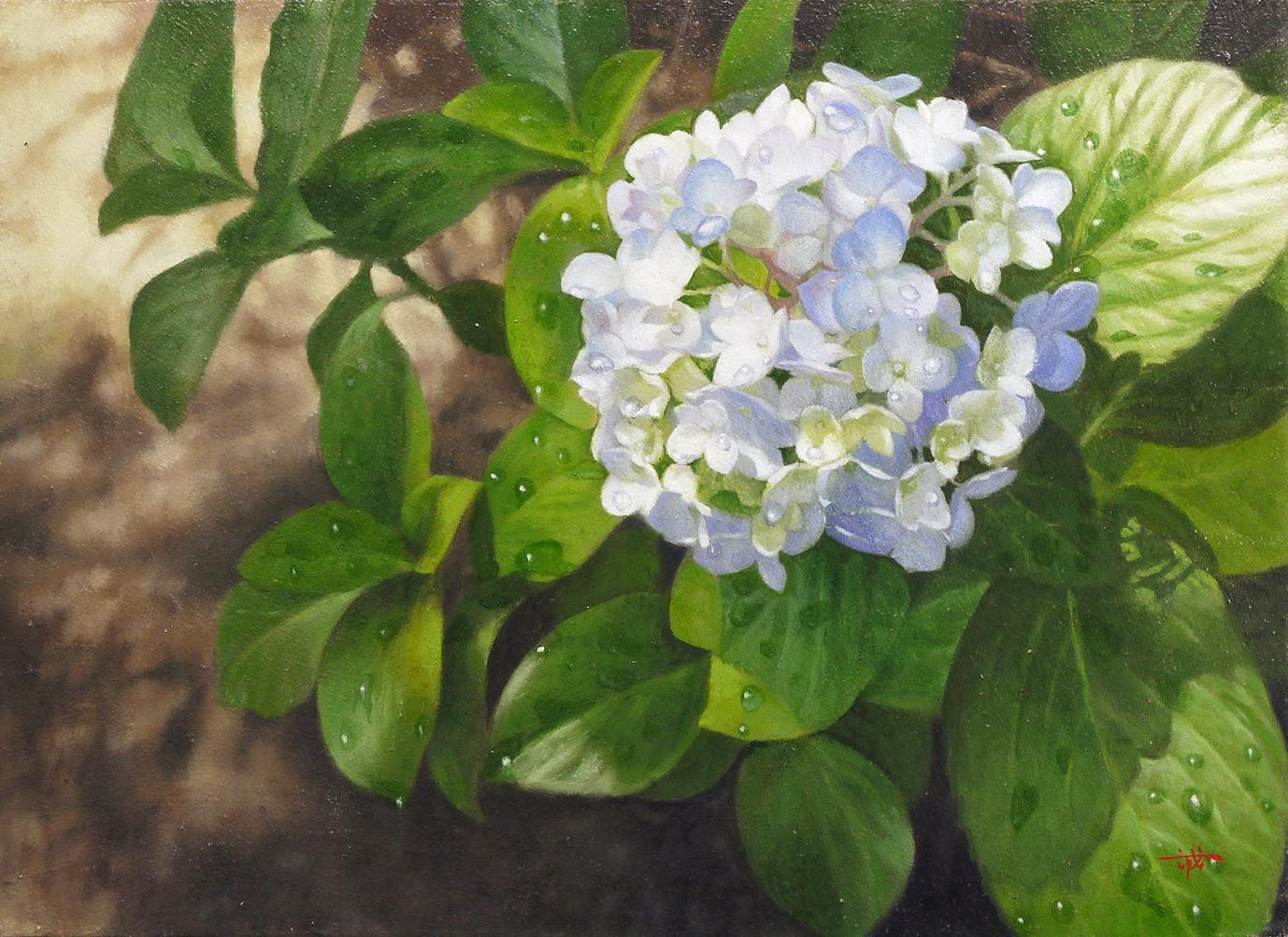 Hydrangea of After the rain